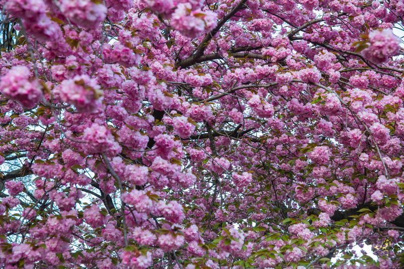 Seeing the Yoshino Cherry Blossom trees during a Central Park picnic
